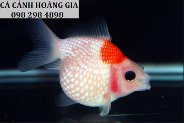 Cá ping pong hay còn thường được gọi là cá vàng ngọc trai