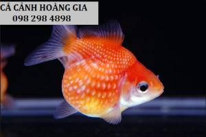 Cá ping pong nhỏ nhắn siêu dễ thương