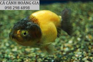 cá Ping Pong