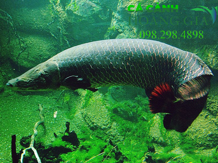 Cá Hải tượng khi trưởng thành đuôi của chúng sẽ xuất hiện những hàng vây đỏ rực lấp lánh