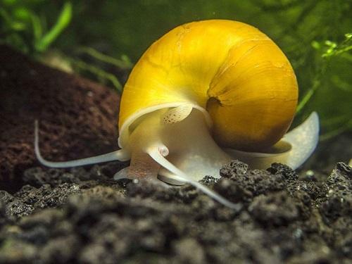 Các loại ốc trong bể thủy sinh
