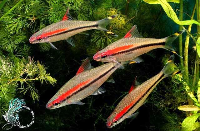 Cá tên lửa hày còn gọi với cá tên là cá Hồng my Ấn Độ