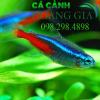 Cá neon một trong những loài cá bơi theo đàn đẹp mắt nhất