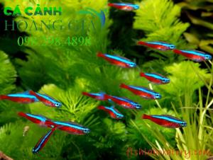 Hình ảnh cá neon bơi thanh đàn
