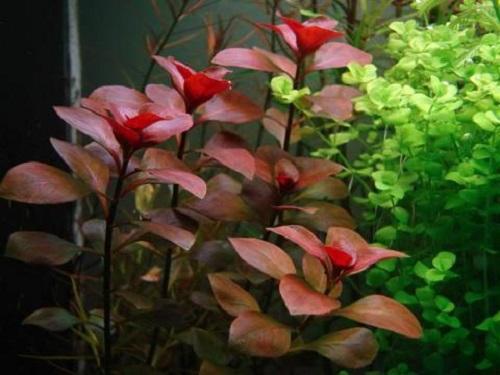 cây diệp tài hồng