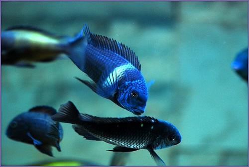 Cá ali nuôi chung với cá gì