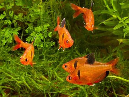 các loại cá cảnh nhỏ bơi theo đàn