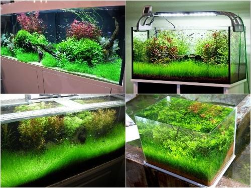 cách trồng cây thủy sinh trong bể cá