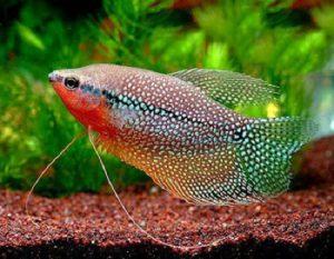 cá mã giáp nuôi chung với cá thần tiên