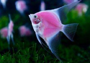 cá thần tiên nuôi chung với cá gì