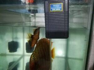 Kích thước bể cá chơi cá Dĩa
