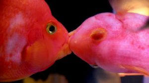 Cá hồng két ăn gì
