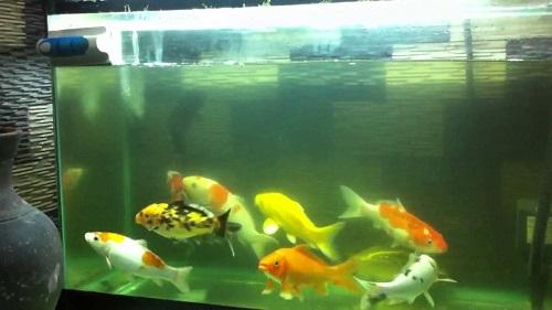 Cách nuôi cá koi trong hồ kiếng