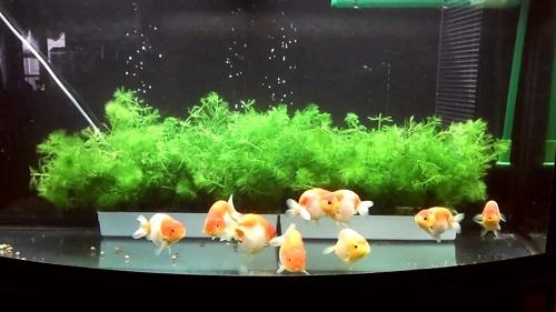 Các loại cá cảnh không cần oxy