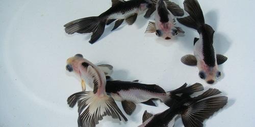 Các loại cá vàng