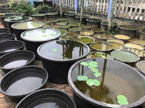 cách xử lý nước máy để nuôi cá
