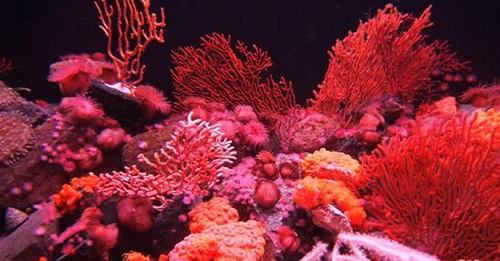 Bể san hô khô màu đỏ