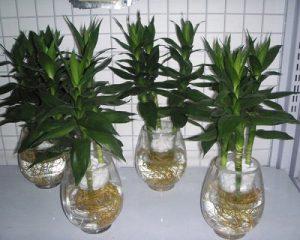 Cách trồng cây phát tài trong nước
