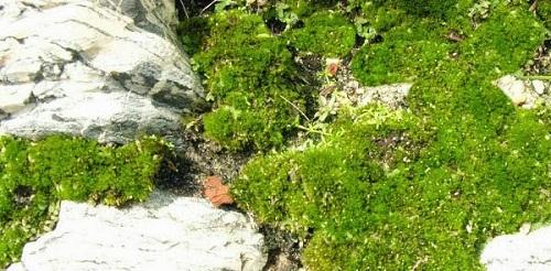 trồng rêu trên đá cạn