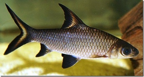 cá hỏa tiễn