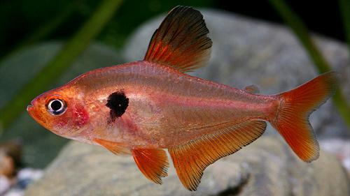 cá hồng nhung