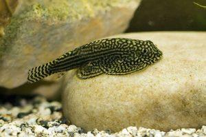 Các loại cá ăn rêu