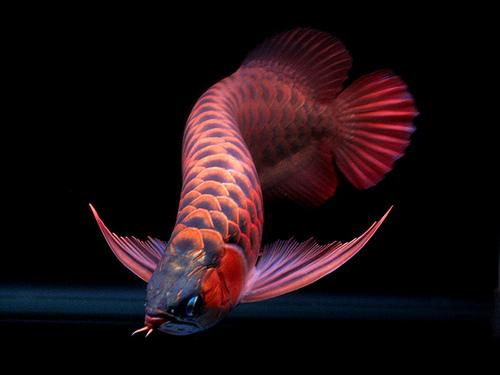 cá rồng lai