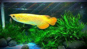 cá rồng golden