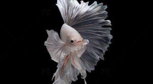 cá chọi thái đẹp