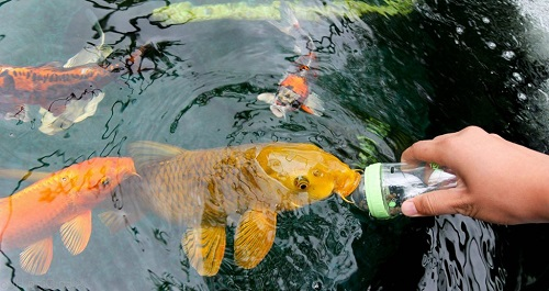 cách nuôi cá koi mau lớn