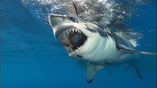 Cá mập trắng