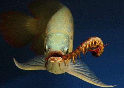 Cá rồng ăn rết