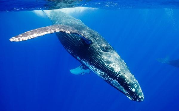 Cá voi trắng