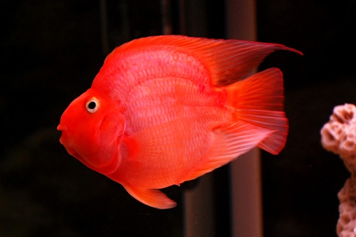 Các loại cá cảnh dễ sinh sản
