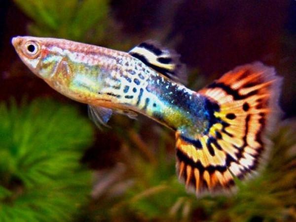 Hướng Dẫn Cách Nuôi Cá Bảy Màu Trong Chậu Thủy Tinh Nhỏ