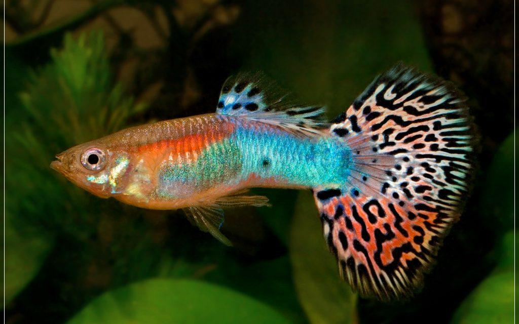 cá bảy màu đẹp