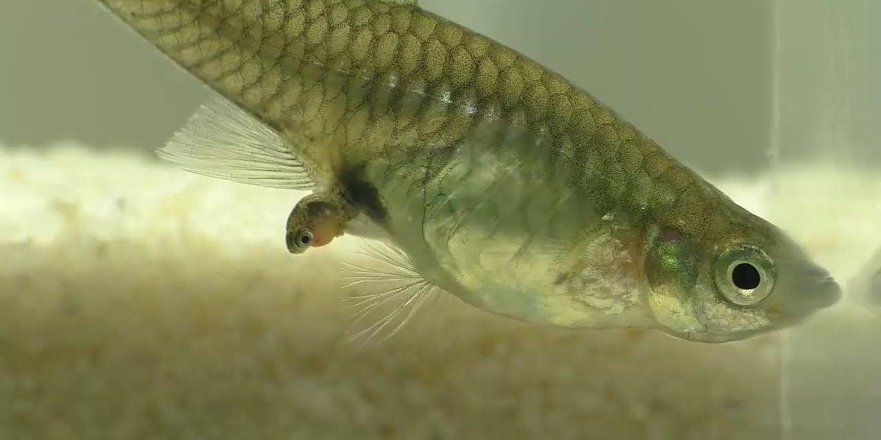 cá bảy màu sinh sản