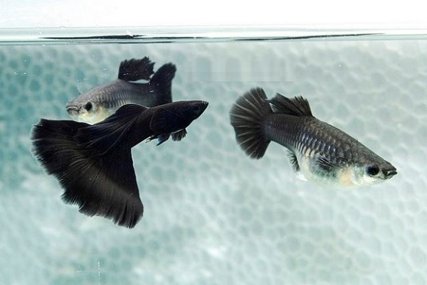 cá bảy màu thái
