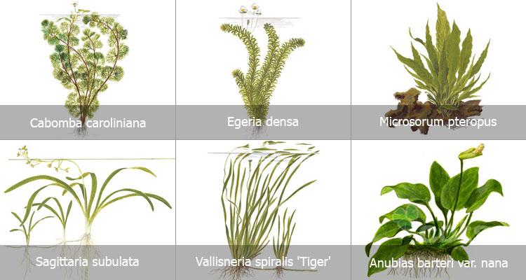 cây thủy sinh dễ trồng