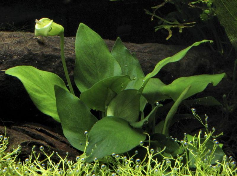 cây ráy thủy sinh ra hoa