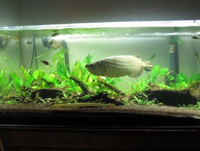 ánh sáng làm bể cá rồng