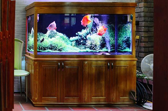 Bể cá rồng chân gỗ